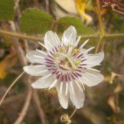 Wild flower - passiflora