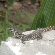 Small Monitor Lizard