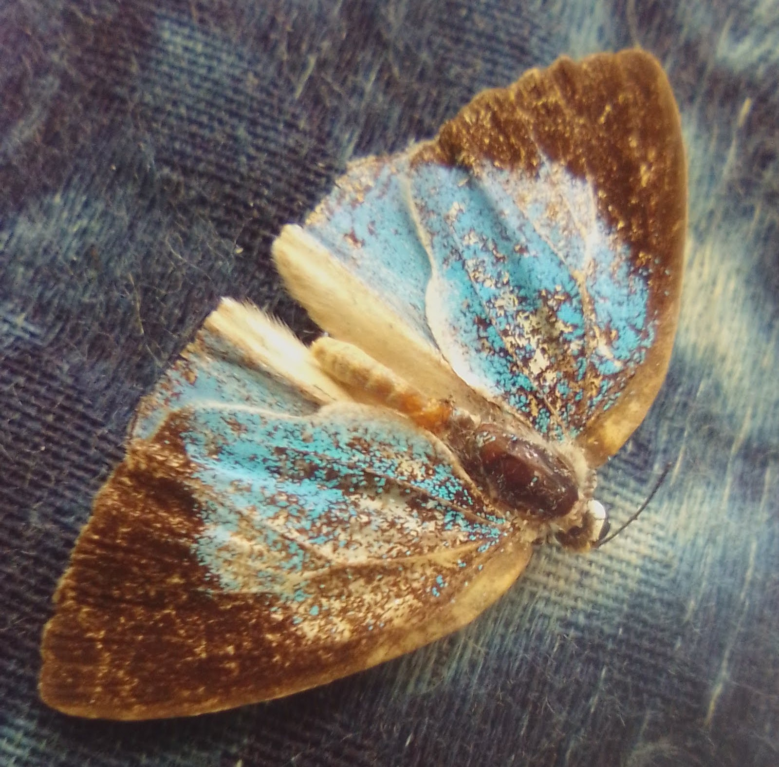 butterfly with brown and sparkling blue wings